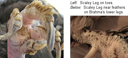 Scaley Leg Mites