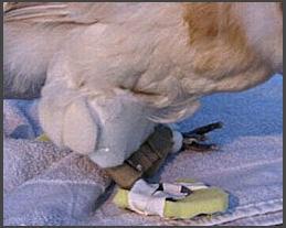 Leg braces to treat injured spraddle leg chicken
