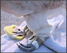 Leg injury foam braces for chicken