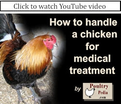 How to hold and handle chickens--roosters & hens