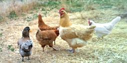 Hens free-ranging