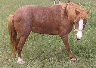 Foundered Pony